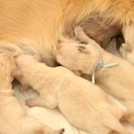 щенки голден ретривера (золотистый ретривер) от Мегги и Этиена