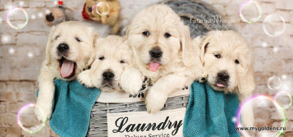 Купить щенка золотистого голден ретривера, цена щенка в Спб